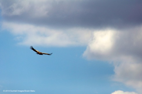 A tawny eagle soars above the plains of the Serengeti.